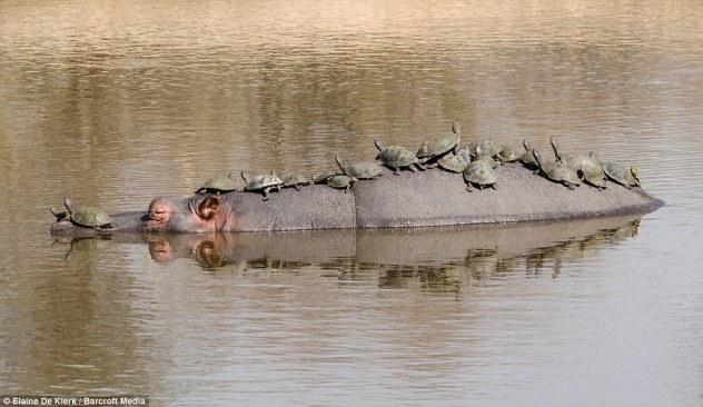 Hipopótamo com tartarugas