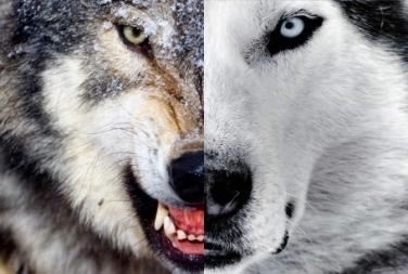 A Fábula Dos Dois Lobos Qual Deles Você Quer Alimentar Reflexão