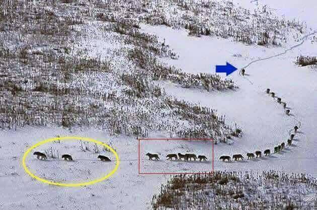 Liderança Aprendendo Com A Natureza A Lição Dos Lobos